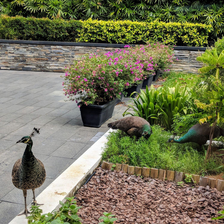 capella singapore peacocks
